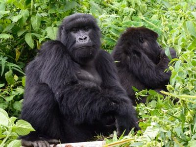 East Africa Great Apes