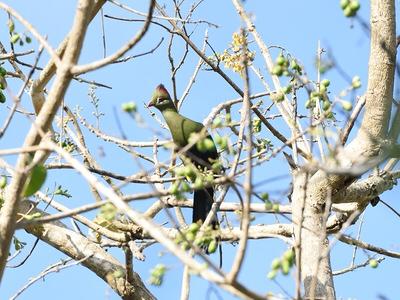 Usambara Endemics Birding Tour