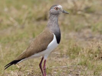 Uganda and Kenya Birding Tour