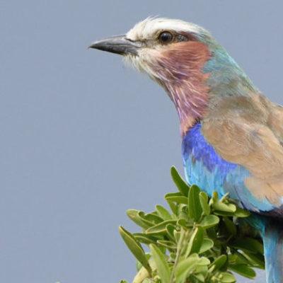 Kenya Highlights Birding Safari