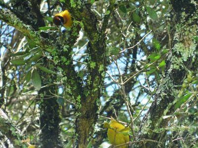 A Birding Day Tour in the Western Mt. Kenya Forests